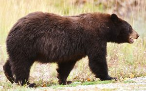 Jackson Hole Black Bear Tour