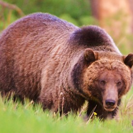 Jackson Hole Safari - Bear