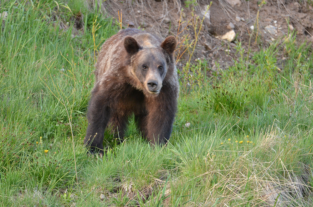 National Park Tour - Bear