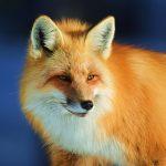 Fox in Yellowstone