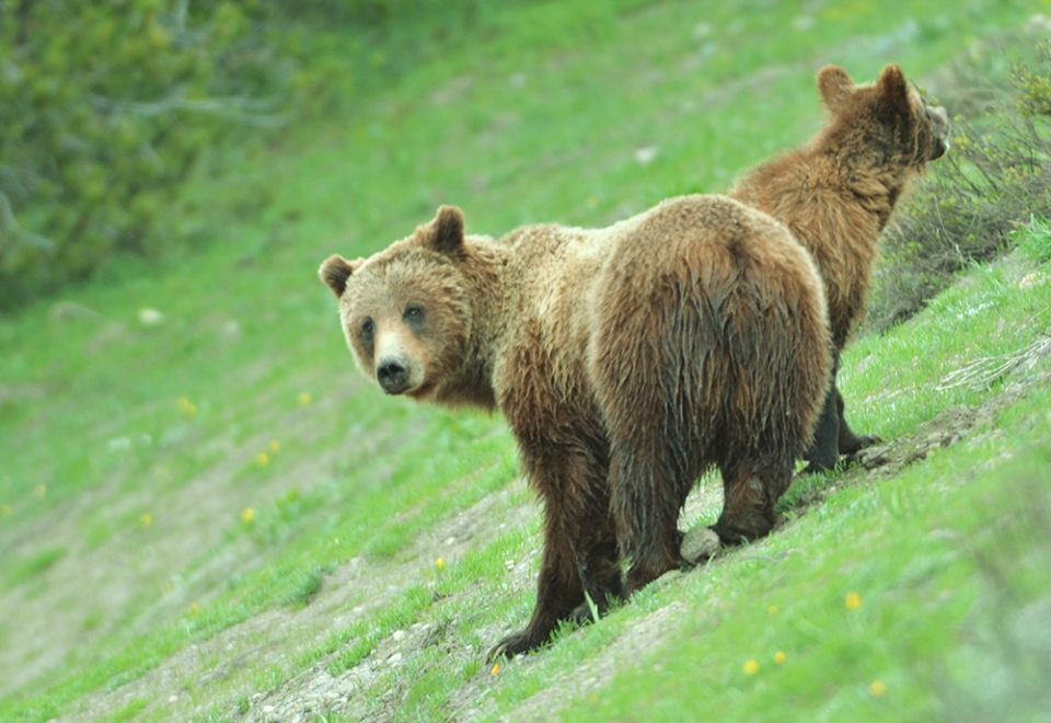 See a grizzly bear