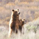 guided Yellowstone expedition