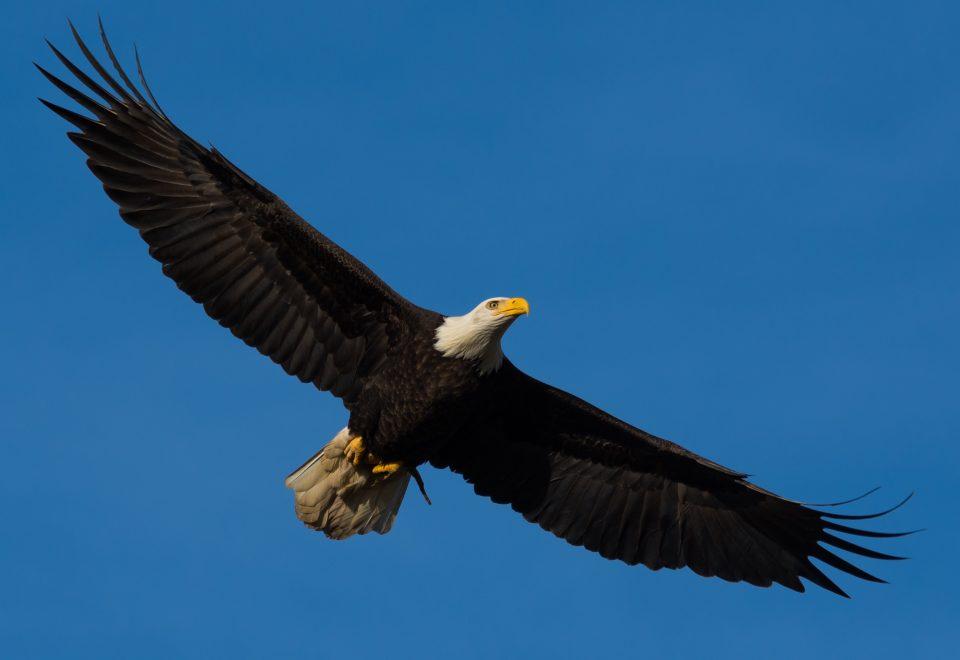 bald eagle's age