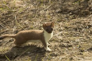 short tailed weasel in jackson hole