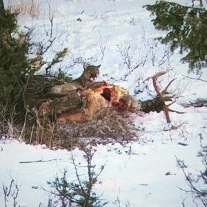 cougar on the elk refuge